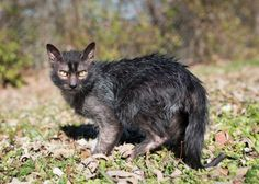Lykoi The Lykoi, also called the Werewolf cat, is a natural mutation from a domestic short-haired cat. The Lykoi breed was developed in Vonore, Tennessee. The mutation has occurred in domestic cats. Lykoi Cat, Cute Cats, Funny Cats, Werewolf Cat, Unique Cats, Domestic Cat, Beautiful Cats, Cat Breeds, Cat Memes