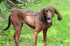 ADOPTED!!! Meet CHARMING COCO, an adoptable Redbone Coonhound looking for a forever home. * Dog • Redbone Coonhound Mix • Adult • Female • Large  Critter Cavalry Rescue Franklin, TN