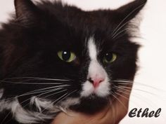 Ethel is an adoptable Domestic Long Hair-Black And White Cat in Indianapolis, IN. Meet Ethel. She is really ready to leave the shelter and be a couch potato. Ethel is a social girl but would rather ju...