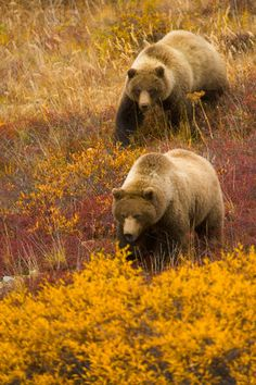 Two Grizzly Bear in Fall Tundra