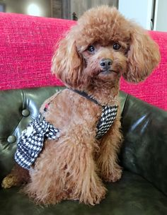 My little munchkin Poodle Hairstyles, Animals And Pets, Cute Animals, Toy Poodles, Best Pal, Bow Wow, Dog Stuff, Dog Pictures, Cute Dogs