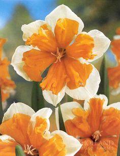 Orangery Butterfly Daffodil
