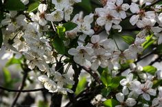 Flowers of Armenian Apricot Tree | Apricot trees bloom before the leaves emerge, producing fragrant, white self-pollinating flowers. Article found @ JW.ORG