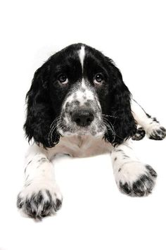 English Springer Spaniel-black and white