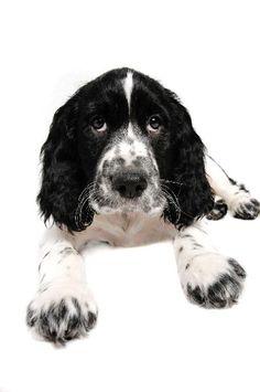 English Springer Spaniel-black and white