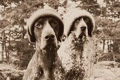 GSP - think this is Walter & Luther the fabulous pointer brothers...they have thier own calendar
