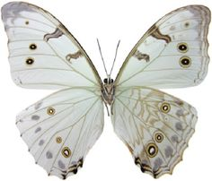 ??COM?? Morpho luna (may be subspecies of poly) 14 cm Central and South America