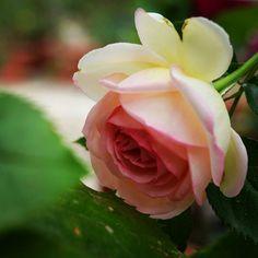 """~Rosa """"Pierre de Ronsard"""""""