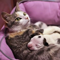 Cat adds orphaned pit bull puppy to her motherly duties