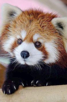 Imagen de animal cute and Red panda More