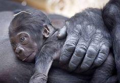 Cuore di mamma  - Il gorilla Kijivu con il suo cucciolo di nove mesi allo zoo di Praga (Divizna/Zumapress)