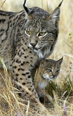 """Andean Mountain Cat & Babe"" They are just beautiful. Love to know who took this shot if anyone knows. S"