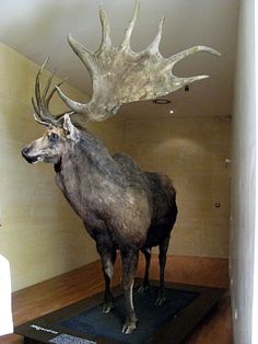 Irish Elk (Megaloceros giganteus) The latest known remains of the species have been carbon dated to about 7,700 years ago in Siberia.