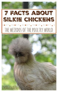 Silkie chickens are the weirdos of the chicken world. Here& 7 silkie chicken facts to prove it! Fancy Chickens, Urban Chickens, Keeping Chickens, Raising Chickens, Portable Chicken Coop, Backyard Chicken Coops, Diy Chicken Coop, Chickens Backyard, Chicken Facts