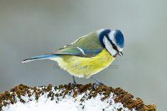 Winter Blue Tit