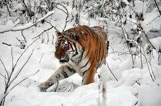 Amur Tiger Snow - Amur Tigers Photo (27124445) - Fanpop
