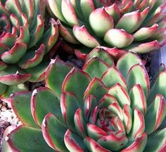Echeveria agavoides x E. pulidonis