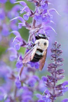 A bee on a Rosebay Willowherb (Chamerion angustifolium) flower