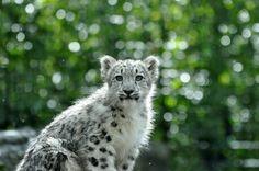 Snow Leopard.2. by *HecklingHyena on deviantART