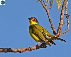 https://www.facebook.com/WonderBirds-171150349611448/ Chim Sung (Vả); Họ Vàng Anh-Oriolidae; châu Úc Đại Dương || Australasian figbird (Sphecotheres vieilloti) IUCN Red List of Threatened Species 3.1 : Least Concern (LC)(Loài ít quan tâm)