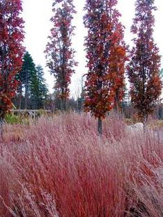 Quercus palustris 'Green Pillar' with Schizachyrium scoparium 'The Blues' in autumn