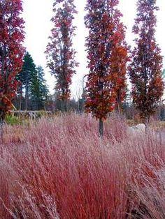 Quercus palustris 'Green Pillar' with Schizachyrium scoparium