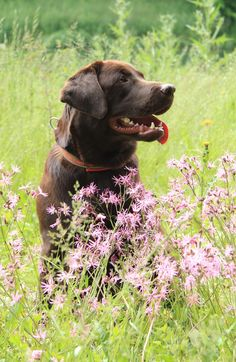 Chocolate Lab in Spring Flowers