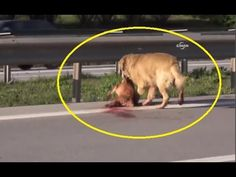 Heartbreaking moment: Loyal dog tries to protect friend hit by a car and left for dead | VIDEO 2015 - YouTube