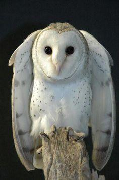 Barn Owl shrugging.