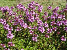 Sitrontimian (Thymus x citriodorus)