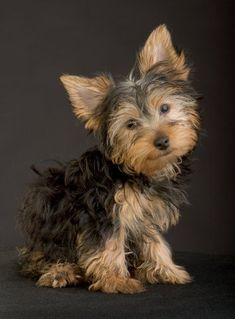 Yorkshire puppy #yorkshireterrier