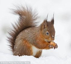 RED SQUIRRELSPhotographer Simon Phillpotts captured a family of red squirrels darting about in the freshly fallen snow near Hawes, North Yorkshire, looking frantically for somewhere to hide their nuts