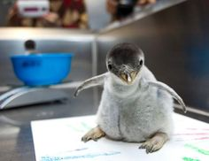A pair of Gentoo penguin chicks are weighed and examined at Moody Gardens in Galveston, Texas, Nov. 28, 2012. So cute