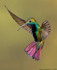 Green Throated Mango Hummingbird.