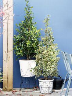 Wintertauglicher Designergarten mit der Stechpalme gefällig? - Pflanzenfreude.de