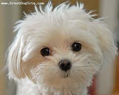 meu prósimo cãozinho será um maltes