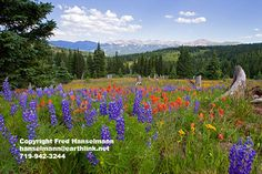 Mountain Wildflower View from Shrine Pass, Near Vail and Breckenridge, Colorado