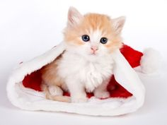 Pretty Kitten Sitting in Christmas Santa Hat.