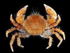 A pilumnid crab from Bali Shrimp And Lobster, Crab Stuffed Shrimp, Sea Crab, Shell Shock, Pond Life, Sea Slug, Underwater Creatures, Unusual Animals, Marine Life