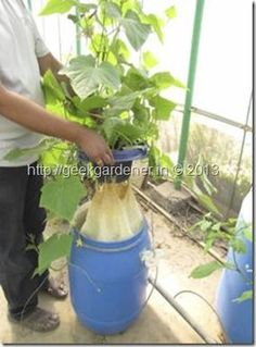 Kratky Method for Cucumbers - no electricity hydroponics