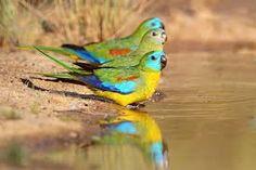 Image result for turquoise parrot Pretty Birds, Beautiful Birds, Australia Animals, Australian Birds, Birds 2, Unique Animals, Blue Bonnets, Colorful Birds, Bird Feathers