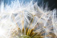 Chaque délicate graine d'un pissenlit. | 17 gros plans qui vont vous faire flipper