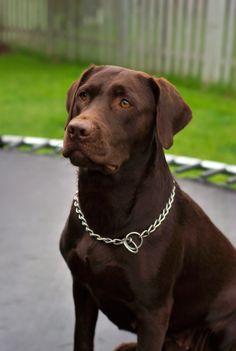 Image detail for -File:Labrador Retriever chocolate Hershey sit.jpg - Wikipedia, the ...