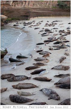 La Jolla Children's Pool aka a Sea Lion pup pool! #sandiego #sealions #travel