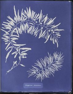 Sargassum plumosum from Anna Atkins's Cyanotypes of British Algae (1843-1853)