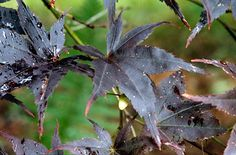 Aceri giapponesi: trame e colori anche per piccoli spazi. Acer palmatum 'Nigrum' (c) apps.rhs.org.uk