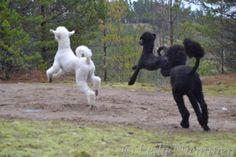 Flying poodles.
