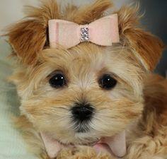 Morkie / Yorktese puppy for sale near St Louis, Missouri