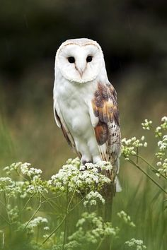 barn owl - is he really sitting on one of  these wispy plants?!