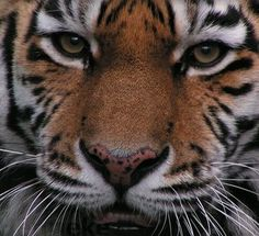 What Will It Take to Save Tigers?  END DEMAND FOR TIGER PARTS  Inform and move consumers of tiger products to change their habits.